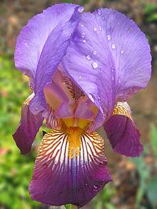220px-Purple-Iris_pn