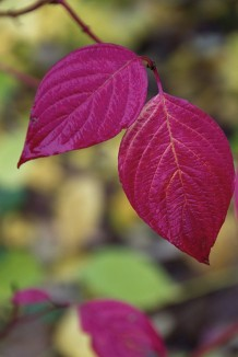 fall-foliage-red-twig-dogwood-leaves-gardenista